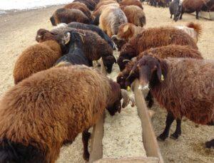 650 bin koyun ve keçiden 500 bin yavru bekleniyor