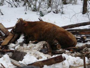 Kar nedeniyle ahırın çatısı çöktü, 10 hayvan telef oldu