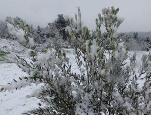 kar yağışı ve soğuk zeytinde verimi olumlu etkiliyor!