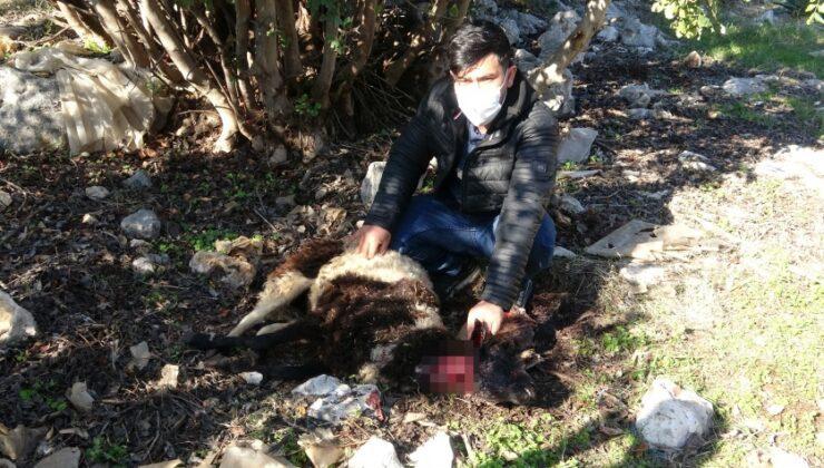 pitbull cinsi köpekler ağılda katliam yaptı