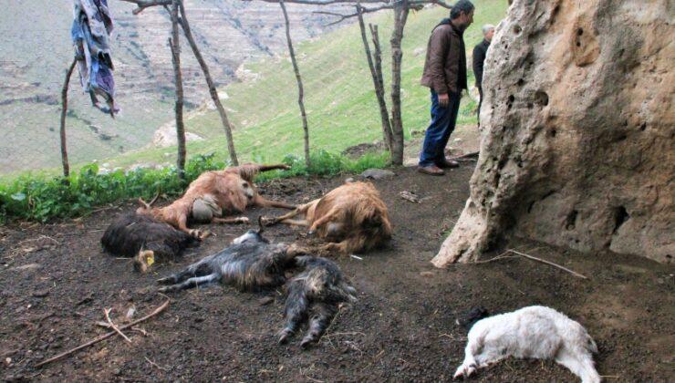 şırnak'ta keçi sürüsüne kurt saldırdı: 25 hayvan telef oldu, 15'i yaralandı