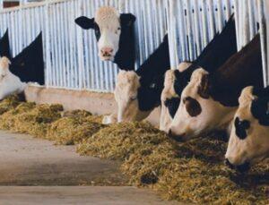 hayvancılıkta yemleme yönetimi