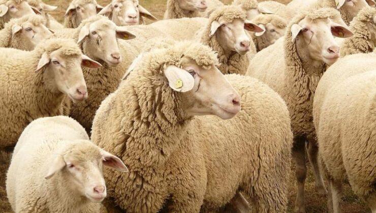 kırklareli'nde bir ağıldaki telef olan 27 koyun gömülerek imha edildi