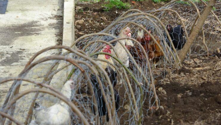 komşular arasında tavuk kavgası