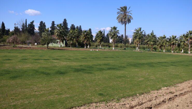 portakal ağaçlarını kesip çim ektiler