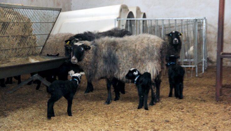romanov cinsi koyun sezaryen ile dördüz doğurdu
