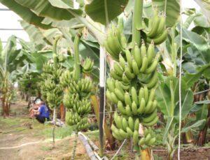 manavgat ilçesinde yılın ilk hasadı yapıldı
