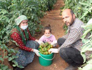 atadan kalma tohumlarla organik domates üretiyor