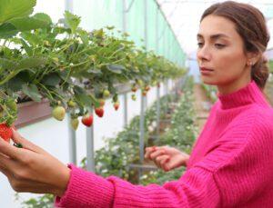 Çukurova'nın ilk topraksız çilek serası kuruldu