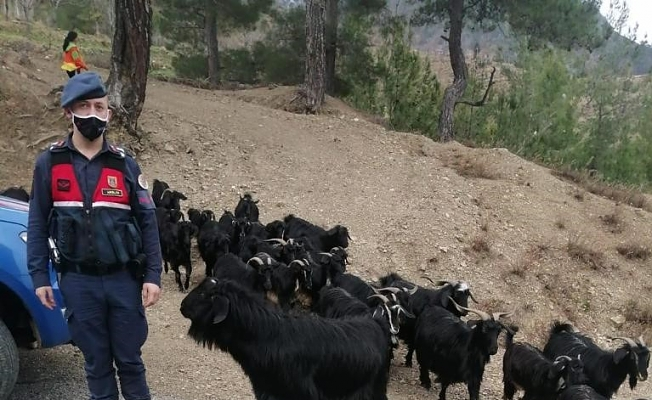 Fatma teyzenin keçileri bulundu!