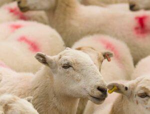 Gübre çuvalına koyulan yemler 17 hayvanı telef etti