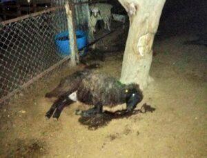 15 koyun zehirlenerek telef oldu