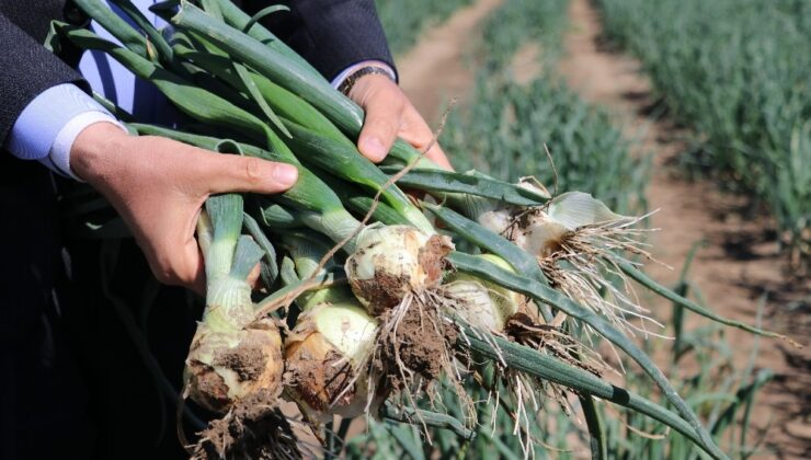 soğan hasadı yaklaşıyor üretici pazar bulamama korkusu yaşıyor