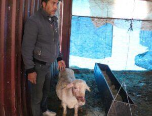köpek vahşeti 4 koyunu telef etti