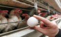 Yumurta üreticisi ırak pazarının açılmasını bekliyor