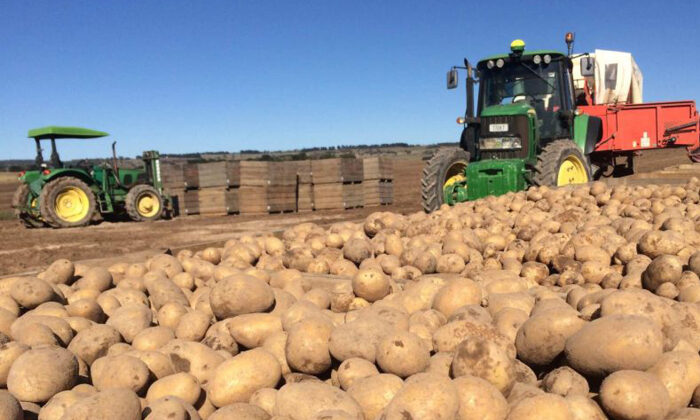 maliyeti bir lira olan patates 25 kuruşa satılamıyor