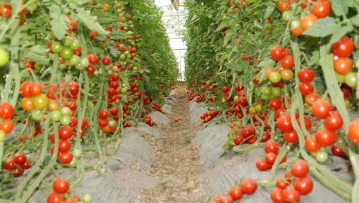 30 bin ton örtü altı domates rekoltesi bekleniyor