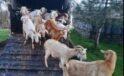 Sahte çekle hayvan dolandırıcılığı yapanlar suçüstü yakalandı