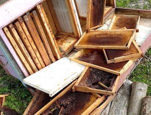 kış uykusundan uyanan ayılar, arı kovanlarını parçaladı