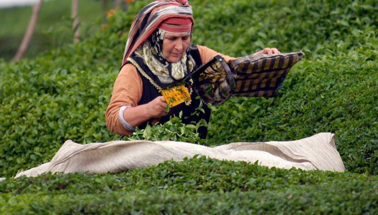 çay toplama ücreti belli oldu