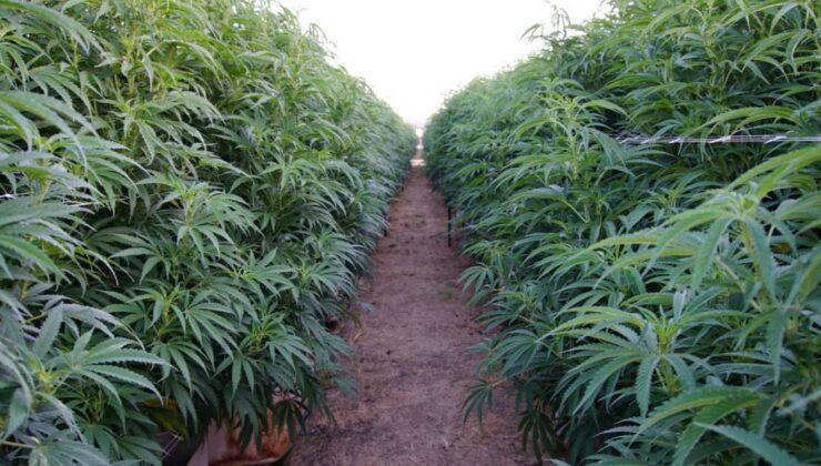 Samsun'da 3 tarlada kaçak olarak ekilen kenevir bitkisi ele geçirildi