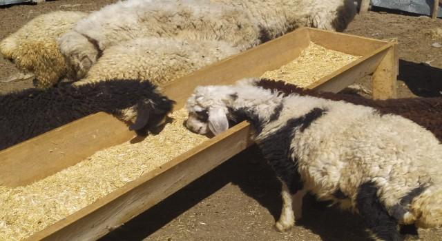 ogretmen kayip kuzu ve koclara sahip cikti sahibini ariyor 5 1619251515