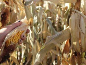 """tarsim: """"mısır ürününüz güvende"""""""