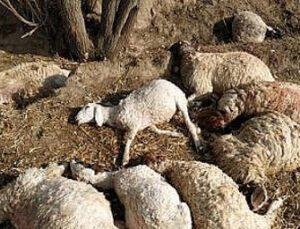 İki araç koyun sürüsüne daldı: 24 hayvan telef oldu