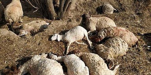 iki araç koyun sürüsüne daldı: 24 hayvan telef oldu