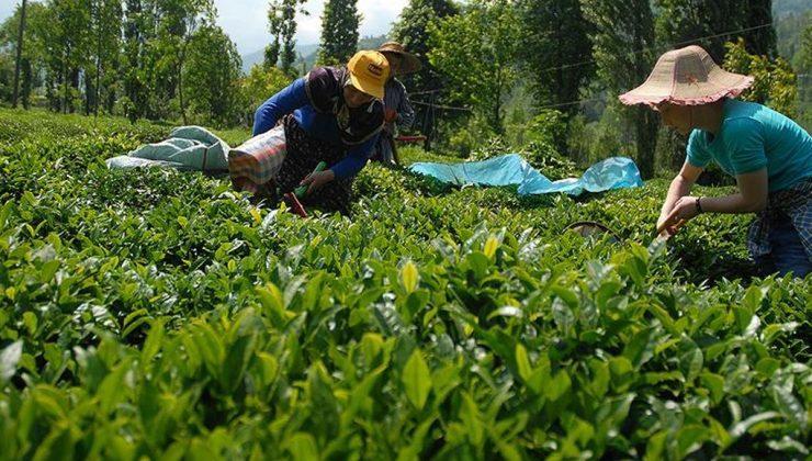 çay üreticilerinin yaş çay taban fiyatı beklentisi 4 lira 45 kuruş