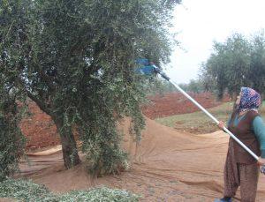 Zeytin yaprağında tarım ilacı kalıntısına dikkat