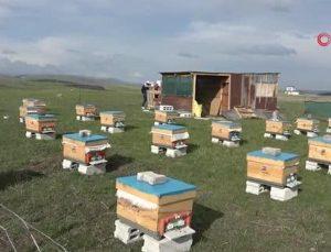 kafkas arıları tehdit altında