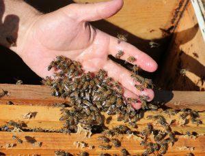 arılarını, onlardan aldıkları balla besliyorlar