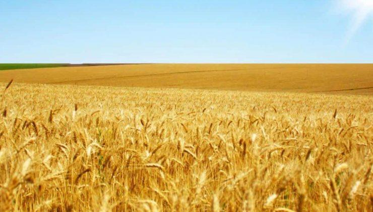 suni gübre kullanmadan üretilen buğdaylar çiftçiye örnek oluyor
