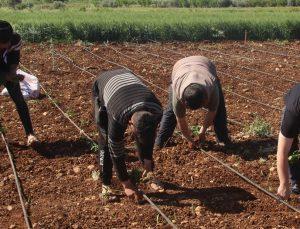 işçi bayramında tarım işçileri sahada çalışıyor