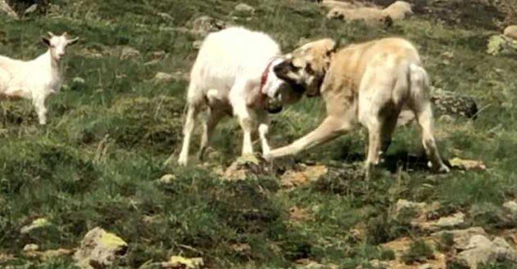 keçi çoban köpeğine kafa tutarsa