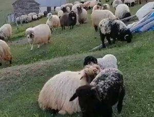 çobanların yün çağrısı