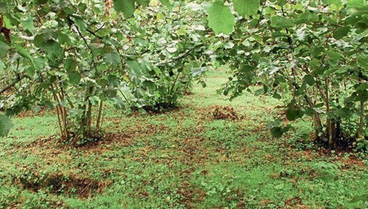 fındık üreticileri bahçelerinde ilaçlama ve temizlik işlerini yapıyor