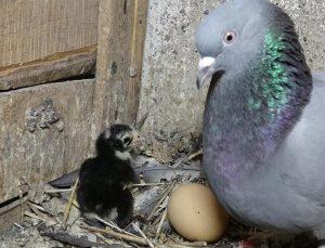 Güvercinler civciv çıkardı