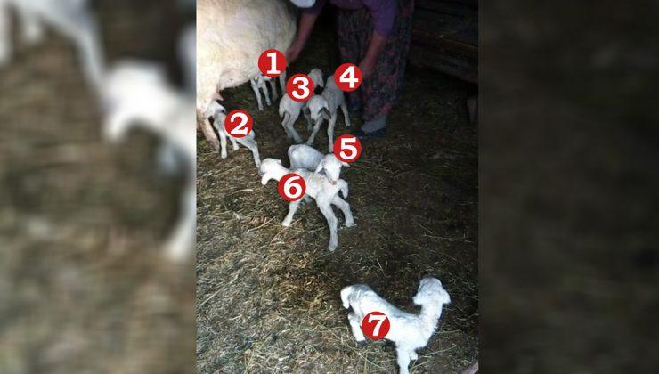 gebe koyun bir batında 7 kuzu dünyaya getirdi!
