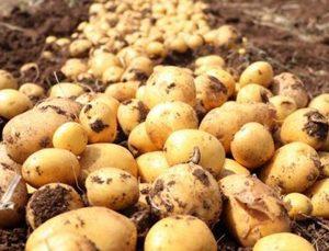 Erkenci patates hasadı başladı