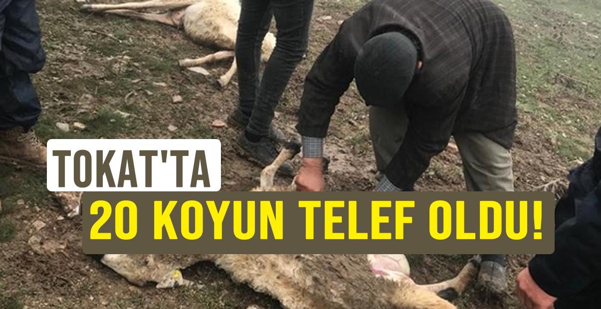 Tokat'ta 20 koyun telef oldu