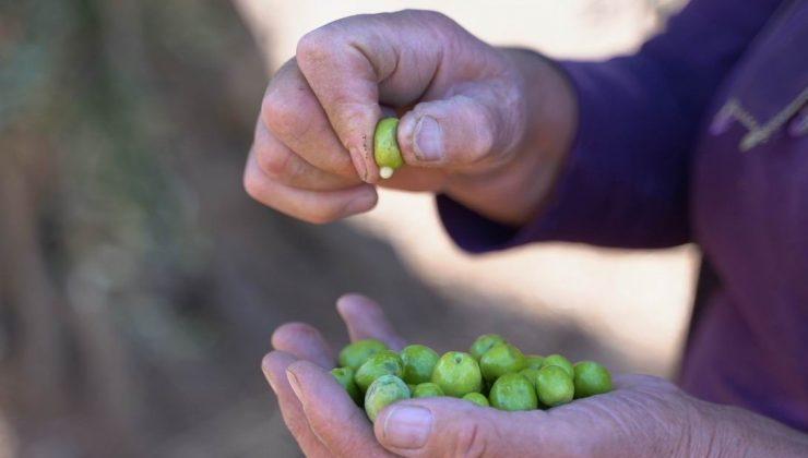 kilis zeytinyağı coğrafi işaret alarak tescillendi