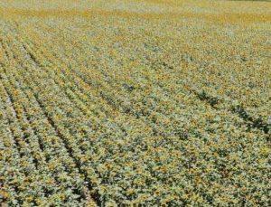 ay çekirdeği tarlaları malatya'yı sarıya bürüdü