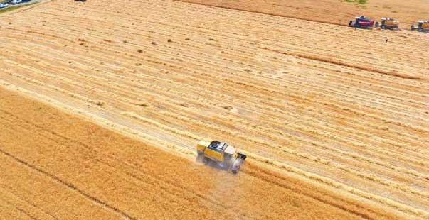 yerli tohum buğdayda yüksek verim