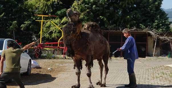 güreşleri kaybeden devenin cezası ağır oldu