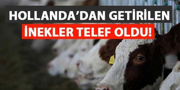 Hollanda'dan getirilen inekler telef oldu