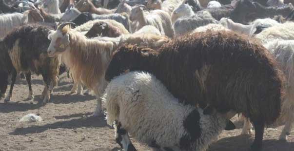 koyun ciftlik
