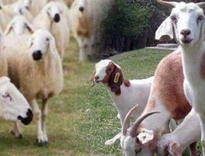 Anaç koyun ve keçi destekleri bu hafta ödeniyor