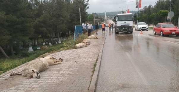 kamyonetin çarptığı sürüdeki 17 koyun telef oldu